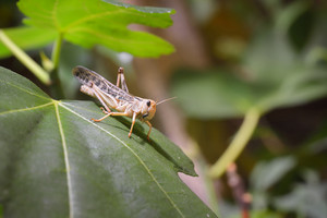 Locust grasshopper (Acrididae) sitting on a healthy green leaf in terrarium