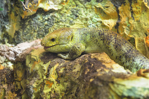 Solomon island skink (Corucia Zebrata). Green lizard camouflage in natural environment.