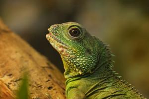 Asian water dragon (Physignathus cocincinus) in natural environment. Colourful tropical green lizard.