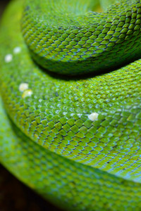 Green tree python Morelia viridis. Young green snake folded