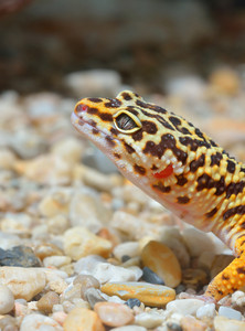 Leopard gecko Eublepharis macularius in natural environment