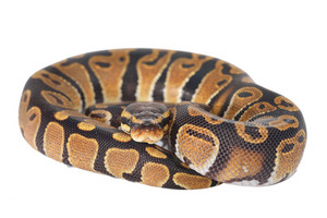 Royal python Python regius isolated over white