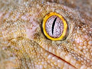 Gecko Rhacodactylus leachianus henkeli
