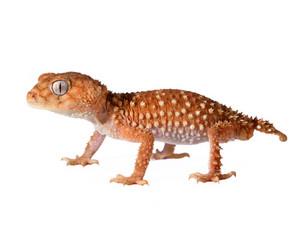 Gecko lizard Nephrurus amyae