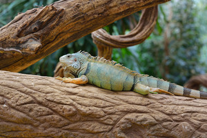 Common green iguana resting on a tree trunk