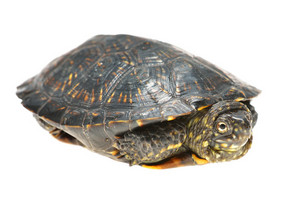 European pond turtle Emys orbicularis isolated