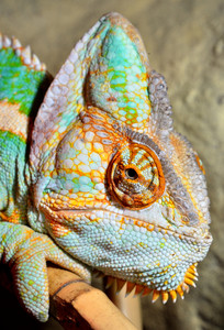 Chameleon close-up