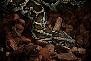 Tiger python close-up in low key light