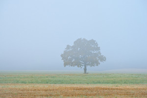 Lonely Tree In The Field During Strong Fog