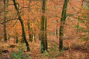 Autumn Forest In The Netherlands