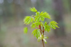 New Leaves On Tree In Spring