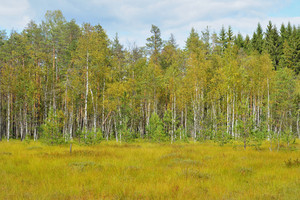 Natural Forest Bog In Latvia