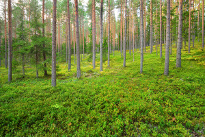 Northern Pine Forest In Latvia
