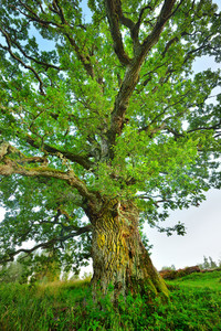 Old Mighty Oak Tree In Latvian Countryside