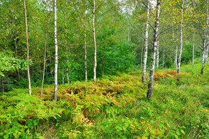 Birch Tree Forest In Latvia