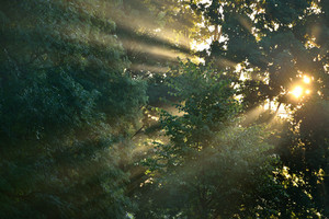 Sunbeams In Strong Fog In The Forest