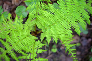 New Sping Fern Close-up In The Forest