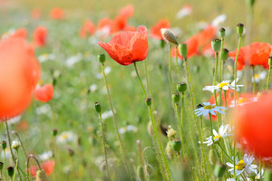 A Poppy Field Close-up