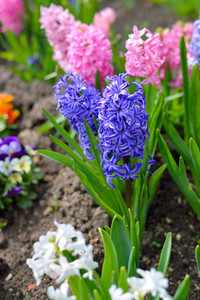 Hyacinth Flowers Close-up In The Garden