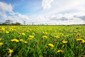 Dandelion Filed In Netherlands