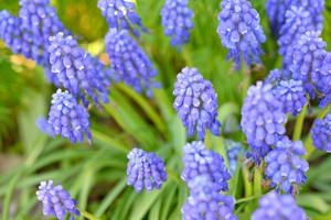 Blue Flowers Close-up In Spring