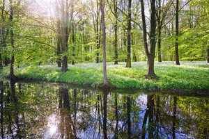 Forest And The Blooming Wild Garlic (allium Ursinum) In Stochemhoeve