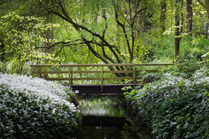 Bridge Over The River And The Blooming Wild Garlic (allium Ursinum) In Stochemhoeve