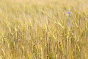 Agriculture View. Wheat Field Close-up