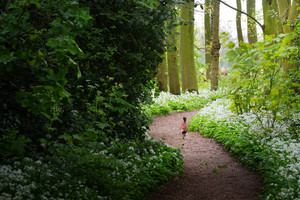 Pheasant In The Forest And The Blooming Wild Garlic (allium Ursinum) In Stochemhoeve