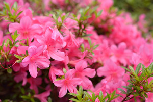 Pink Rhododendron Blooming In Spring