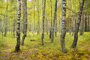 Birch Tree Forest In Latvia.
