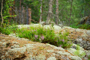 Heather On The Rocks In Finland