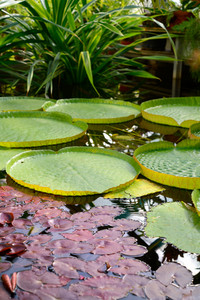 Water Lilies Victoria Amazonica
