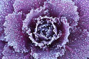Ornamental Decorative Cabbage Covered With A Morning Frost
