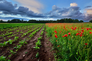 A Poppy Field And A Beta Field In Latvia