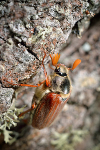 May Bug (melolontha Melolontha) In Natural Environment