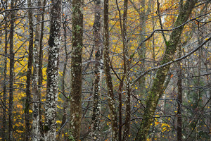 Autumn Forest In A Rainy Weather In Sigulda