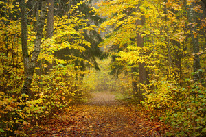 Alley In The Park During The Golden Autumn. Sigulda