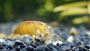 Southeast Asia Shrimp From A Genus Atiopsis In Aquarium