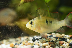 Tropical Cichlid In Aquarium