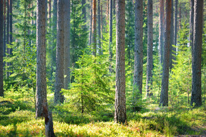 A Pine Forest In Finland