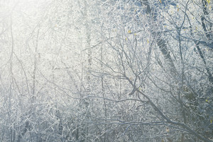Frozen Winter Trees With The Frost