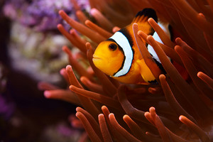 Amphiprion Ocellaris Clownfish Em Marine Aquarium