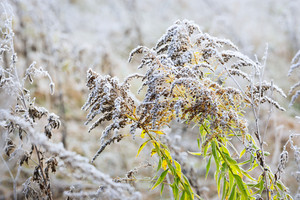Autumn Plants With The Frost
