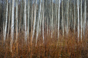 Aspen Forest In The Early Spring In Estonia