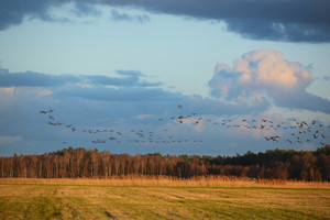 Wild Ducks Over The Field