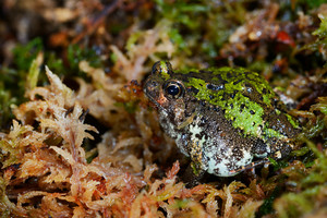 Madagascan Burrowing Frog Scaphiophryne Marmorata In Moss