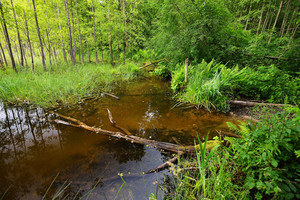 Bog In The Forest