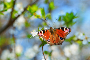 Peacock Butterfly Feeding On A Blooming Tree