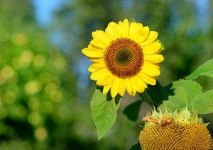Sunflower Close-up Against Foliage Background